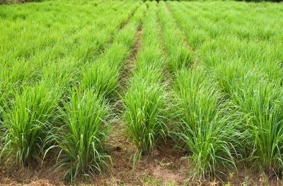 Lemongrass Essential Oil: www.poppysoap.com